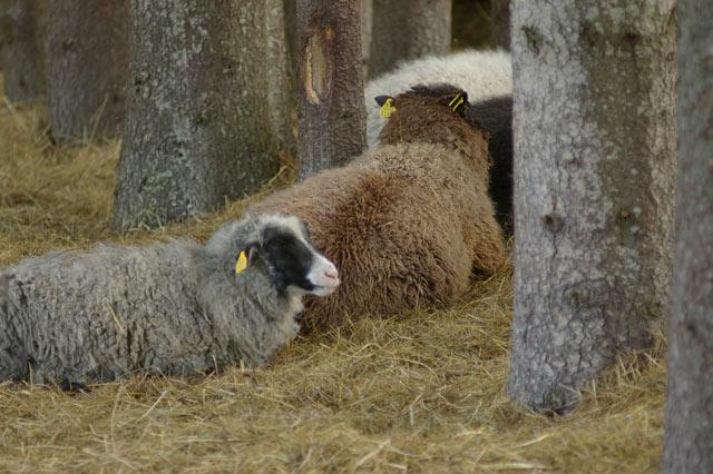 1grazing-sheep