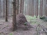 ants formica aquilonia 02
