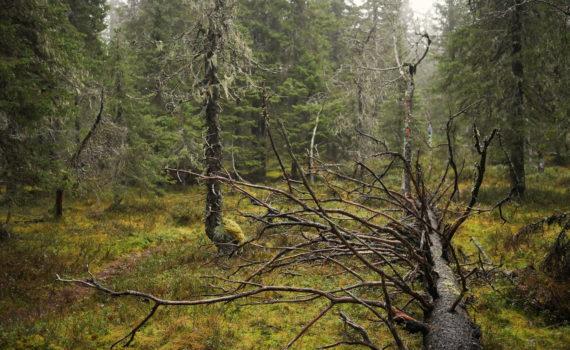 Paljakka old growth forest