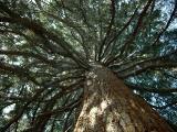17-schonbrunn_old_pine