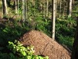 ants formica aquilonia 09