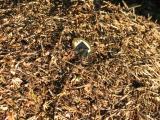 ants formica aquilonia 08