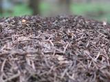 ants formica aquilonia 01